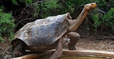 Diego the tortoise is helping save his species by having lots of sex Tortoise As Pets, Red Eared Slider, Animal Anatomy, Tortoises, Spirit Animal, Reptiles, Conservation, Creatures, The Incredibles