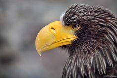 Pygargue de Steller - Steller's Sea Eagle - Pigargo Gigante - Aquila pescatrice…