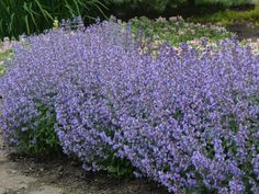 This perennial has it all—deer resistance, drought tolerance and a long flowering period from early summer to fall frost. Catmints can be somewhat sprawling in the garden, but 'Purrsian Blue' tames the sprawl to a tidy 2 feet. Plants are hardy in Zones 3 to 8. Botanical name: Nepeta faassenii.