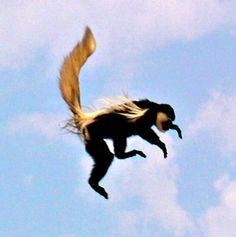 Black and white colobus Monkey up in the air. Colobus (Black-and-White) Monkey - Cool and Interesting Facts for Kids