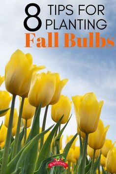 Plant flower bulbs in the fall for beautiful spring color. Get tips for planting tulips, hyacinths, iris, and more with these helpful bulb planting helps. Gardening For Beginners, Gardening Tips, Flower Gardening, Planting Tulips, Diy Garden Bed, Front Yard Landscaping, Landscaping Ideas, Cold Frame, Bulb Flowers