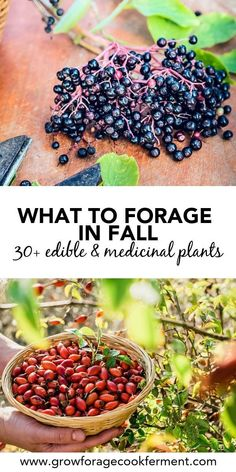to Forage in Fall: Edible and Medicinal Plants and Mushrooms Learn what to forage in the fall. Autumn is the perfect time to go foraging, there is so much bounty. Forage for birch bark plus many other edible and medicinal plants!Learn what to forage in Healing Herbs, Medicinal Plants, Edible Wild Plants, Survival Food, Survival Supplies, Survival Quotes, Survival Tips, Survival Skills, Wild Edibles