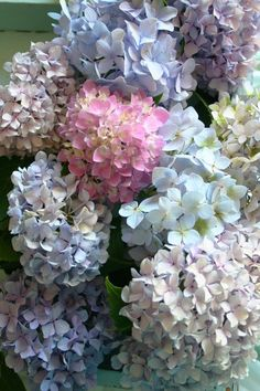 Soft pastel shades of hydrangeas