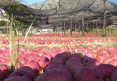 La mela #annurca della Valle di Maddaloni