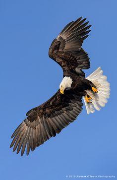 Bald Eagle Pictures, Eagle Images, Wildlife Photography, Animal Photography, Nicolas Vanier, Aigle Animal, Animals And Pets, Cute Animals, Eagle Drawing