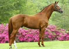 Warmblood breeding stallion Don Caruso. Approved by Danish warmblood and Oldenburg registries. His sire was an Olympic champion. photo: Sparagowski.
