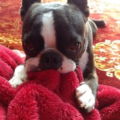 16 Reasons Boston Terriers Are Not The Friendly Dogs Everyone Says They Are