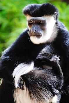 Black and White Colobus Monkey (That Weird Guy!)