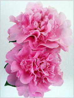 Pink chamelia
