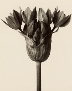 Before there was Instragram and there was Karl Blossfeldt, the master of macro plant photography. Karl Blossfeldt, Artistic Photography, Vintage Photography, Art Photography, Texture Photography, Natural Form Art, Getty Museum, Gelatin Silver Print, Museum Of Fine Arts