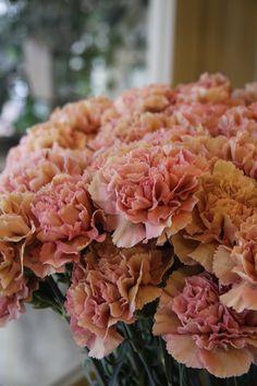 carnation Fuga