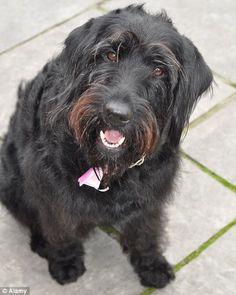 labradoodle or Portuguese water dog? Black Labradoodle, Brown Beard, Golden Doodles, Puppy Grooming, Black Dogs, Portuguese Water Dog, Puppy Birthday, Dog Humor, Labradoodles
