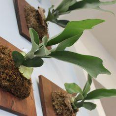 staghorn fern decor - Google Search