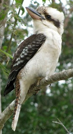 An Aussie icon, the laughing kookaburra greets dawn with maniacal chortles and flies ritualized trapeze flights to defend its home group's territory. Beautiful Birds, Animals Beautiful, Image Avion, Animals And Pets, Cute Animals, Strange Animals, Australian Parrots, Bird Artwork, Bird Pictures