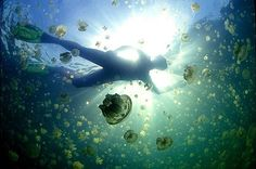 Jellyfish Lake in Palau. The jellyfish don't sting, so it's safe. Must go swimming with the jellyfish!