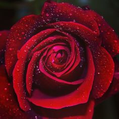 ❤️ #valentines #valentineday #roses #rose #rosa #redroses #love #Lovers #instago #instagood #instalike #instamood #instadaily #inspiration #instabeauty #olfatto #profumo #picoftheday #like4like #like4like #followme #follow4follow #bestoftheday #social #spring #solocosebelle #sanvalentino