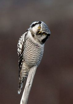 Hawk owl in Finland by Nico van Gelder, via 500px