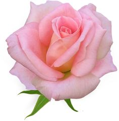 """Photo from album """"Розовые розы"""" on Yandex. Rose Images, Rose Pictures, Beautiful Rose Flowers, Flowers Nature, Purple Roses, White Roses, Minnie Png, Dorm Art, Flower Clipart"""