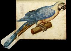 Ulisse Aldrovandi - l'Ornithologia - late 16th c. - I love the tail feathers folding out of the album.