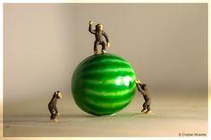 Monkeys on a watermelon