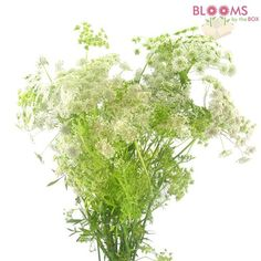 Wholesale Queen Anne's Lace White - Wild Carrot - Blooms by the Box