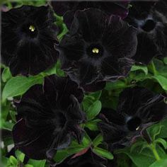 Black Velvet Petunia  can you imagine how cool a mass of black petunias would be with a whited petunia here and there?