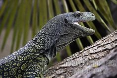 crocodile monitor | ... Photography image of Varan crocodile monitor stock photo pd1229595.jpg
