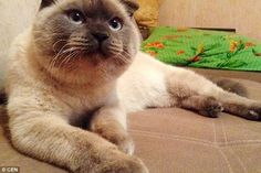 Barsik the Siamese cat captured the hearts of many voters in Barnaul's mayoral elections after the cat was put on to the ticket via the Russian social media website Vkontakte