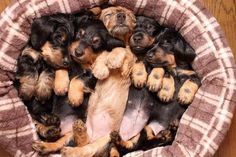 Dachshund puppies on dashondjes