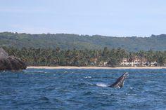 A humpback whale in Samana Bay, Dominican Republic.