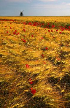 Fields of Gold, The Netherlands Fields Of Gold, Beautiful World, Beautiful Places, Vincent Van Gogh, Belle Photo, Beautiful Landscapes, Wonders Of The World, Wild Flowers, Poppy Flowers