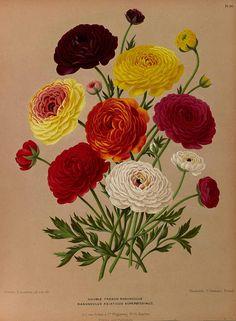 Ranunculus asiaticus Eeden, A.C. van, Album van Eeden, Haarlem's flora, afbeeldingen in kleurendruk van verschillende bol- en knolgewassen, p. 77, t. 98 (1872-1881)