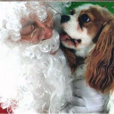 Cavalier  Kingston pup here.... Just telling Santa I was a very good boy this year!! What do you think I was asking him for? ... Treats ?