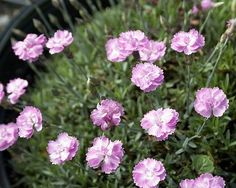 Tiny Rubies Dianthus - Fragrant/Hardy Groundcover - One Quart Pot Hirts: Perennials; Sun http://www.amazon.com/dp/B004YDUFDG/ref=cm_sw_r_pi_dp_IFJ2wb1M77GCT