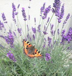 Lavendel, fjäril, butterfly