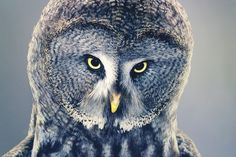 Tim Flach's portrait of a Great Gray Owl, the bird's eyes are framed by its circular face—and thousands of gray, black and white feathers—lending it an air of majesty and also of menace. From WSJ Book Reviews.