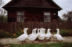Domestic geese on a street in Bialowieza