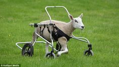 Buster the Wheelchair Sheep Enjoying His Wheels