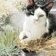 Someone misses our garden 😿#apartmentlife #nomoreoutdoors #helloseptember#mycat #chitzkhanooh #darkmaskedcats #catsofinstagram #falltime #funnycat #cutecat #autumntime #purrpurr #caturday #catlife #catoftheday #sunnyday #catsofinsta #greeneyes #meow #cattime #nature #freshair #🌱 #🐱 #🌞 #ilovemycat  #Regram via @darkmaskedcats Kittens Cutest, Cute Cats, Funny Cats, Hello September, Cat Silhouette, Cat Quotes, Cat Tattoo, Grumpy Cat, Beautiful Cats