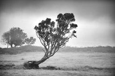 A persistent tree in the azorean landscape.