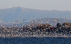 Lake Champlain as a stop-over for Snow Geese flying south |