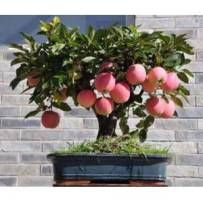 new 2016 Bonsai Apple Tree Seeds 200 Pcs apple seeds (used wet sand sprouting )fruit bonsai home garden in flower pots planters Fruit Plants, Bonsai Plants, Bonsai Garden, Garden Trees, Garden Plants, Outdoor Plants, Bonsai Apple Tree, Bonsai Tree Care, Mini Bonsai