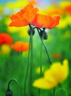 Orange & Yellow Poppies