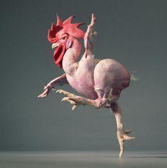 2008年、イスラエルのテルアビブ近郊のレホボット研究所の遺伝学者アブドル・キャハナーが異種交配させて作り上げたとセンセーショナルな報道がもたらされた毛(羽)のないニワトリ。このニワトリを作った理由は、このニワトリが羽が無く皮下脂肪が少ないので効率良く肉を