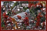 Birds / Pigeons - Madarak / Galambok