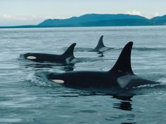 An Orca pod swimming in the ocean.