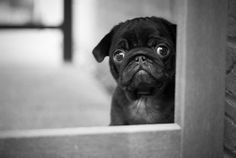 Baby pug says: Why you have to go to work? Please come back :(