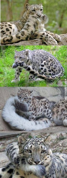Crazy Cats, Big Cats, Cats And Kittens, Cute Cats, Funny Cats, Kittens Meowing, Cats Bus, Adorable Kittens, Animals And Pets