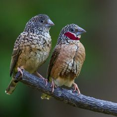 Pair of cut throat finches