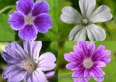 Geranium nodosum 8 seeds (Mix Silverwood/Clos du Coudray/Blueberry Ice) FREE P&P